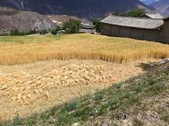 Getreide wird zu Garben gebunden.