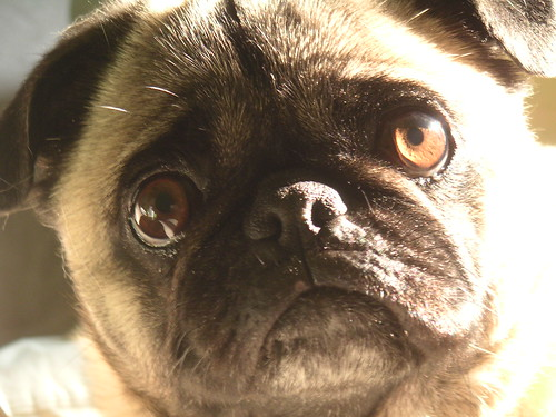 Pug Face in Fading Light