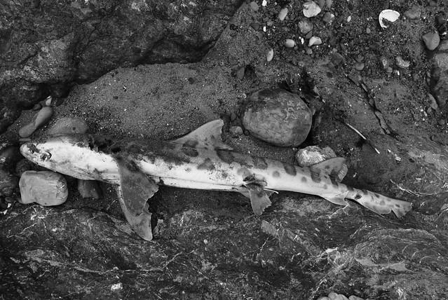 dead_shark_belly.JPG
