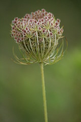 Queen Anne's Lace Seeds