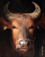 Congo Buffalo