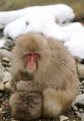 Snow Monkey JP106422