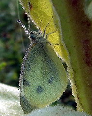 cabbage white butterfly covered with dew