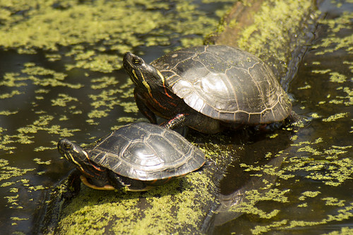 Painted Turtle and Mini Me