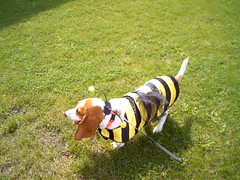 Scarlett the bee dog