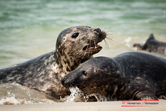 """Grey Seal (Halichoerus grypus) • <a style=""""font-size:0.8em;"""" href=""""http://www.flickr.com/photos/25741809@N05/29824213448/"""" target=""""_blank"""">View on Flickr</a>"""