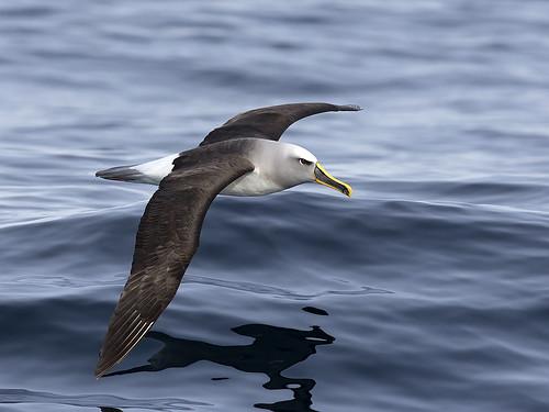 "Buller's Albatross - Eaglehawk Neck Pelagic, Tasmania • <a style=""font-size:0.8em;"" href=""http://www.flickr.com/photos/95790921@N07/41327230685/"" target=""_blank"">View on Flickr</a>"