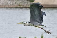Gray heron in flight
