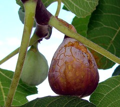 figs on tree