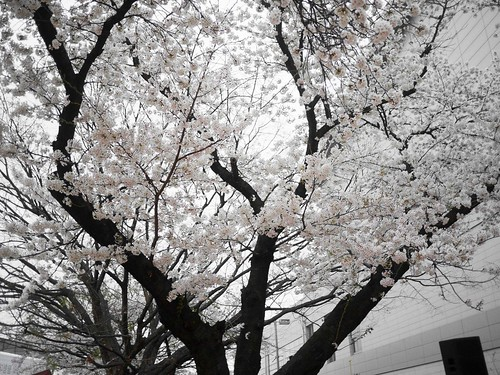 Going Cherry-Blossom Viewing_MDY_180408_6