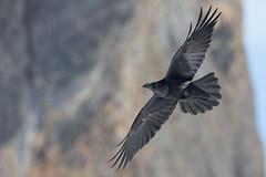 Northern Raven | korp | Corvus corax