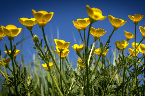 Brilliant buttercups!
