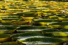 Jardin Botanique de Pamplemousse (Ile Maurice) / Nénuphars Victoria Amazonica