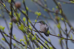 Hummingbird in a Tree, Sticking Out His Tongue
