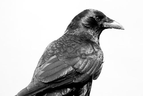 Holy Crow