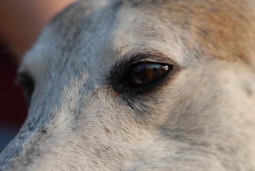 The eye of a retired NGA greyhound.