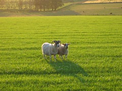 Two isolated sheep in a farm outside of Edinburgh Scotland, around sunset.