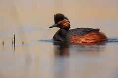 Black-necked Grebe | svarthalsad dopping | Podiceps nigricollis