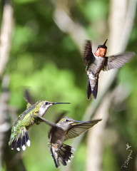 hummingbirds at play 4-30-18_064