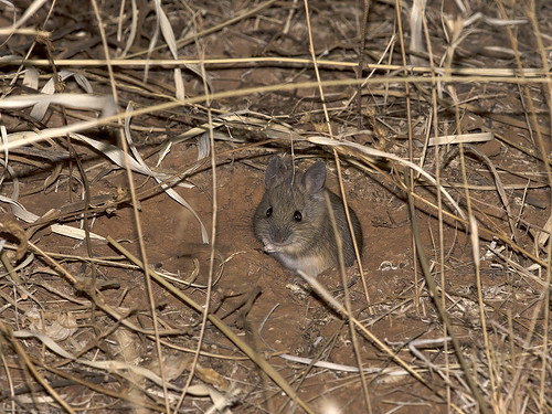 """Plains Mouse - Pseudomys australis - Mount Dare, SA • <a style=""""font-size:0.8em;"""" href=""""http://www.flickr.com/photos/95790921@N07/28247287568/"""" target=""""_blank"""">View on Flickr</a>"""