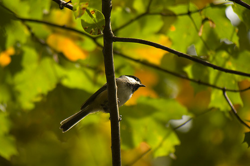 Chickadee getting ready for fall