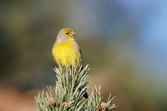 Citril Finch | citronsiska | Carduelis citrinella