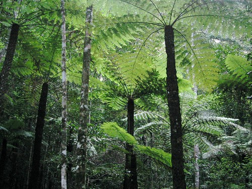 Tree Fern Forest by webmink