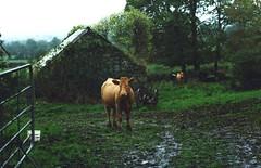 Lisnagarron Cow