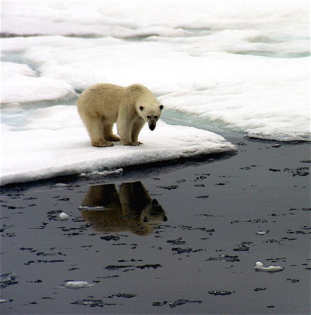 Polar bear and reflection