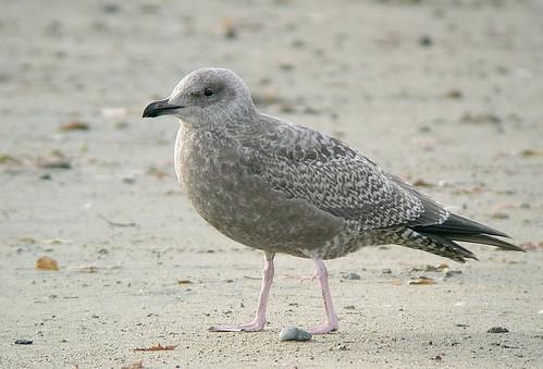 Thayer's Gull (Larus thayeri)