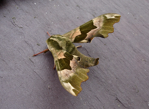 Lime Hawkmoth at West Hill Road