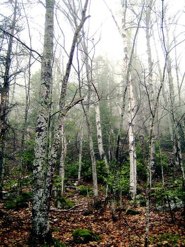 Trees. Fog.