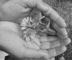 handsofferhealingflowersbw