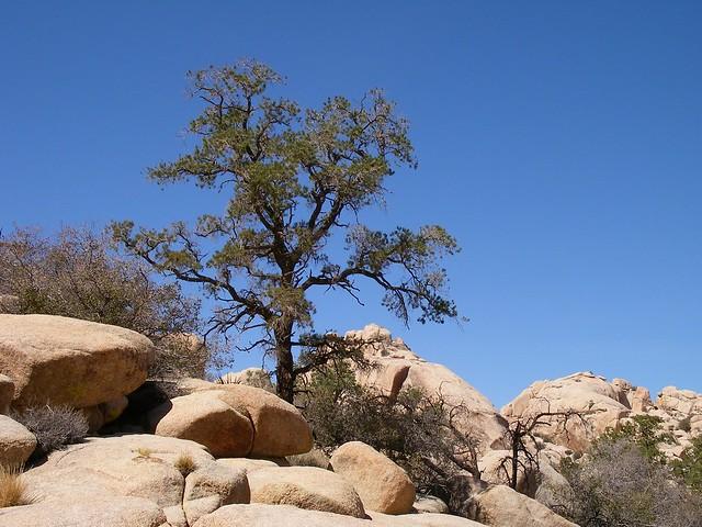 2007.03.10 - Pinyon pine