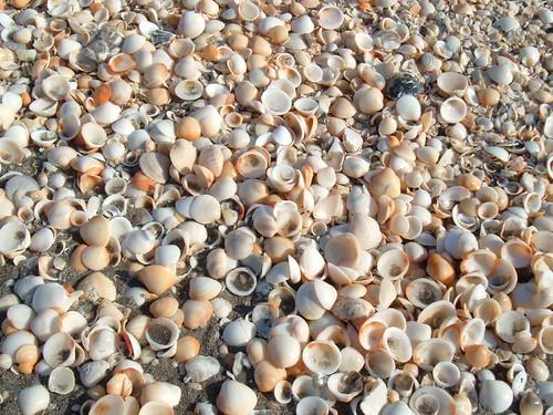 Seashells on Juno Beach