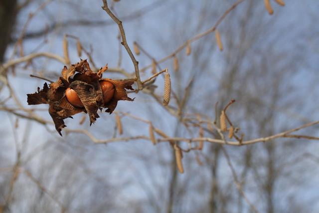 American Hazelnut