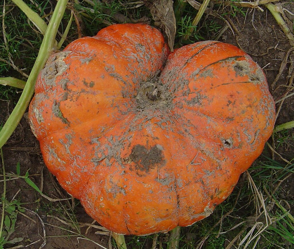 Heart-shaped pumpkin by kirstens_closet on flickr.com