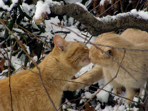 Kissing Cats by jwill9311