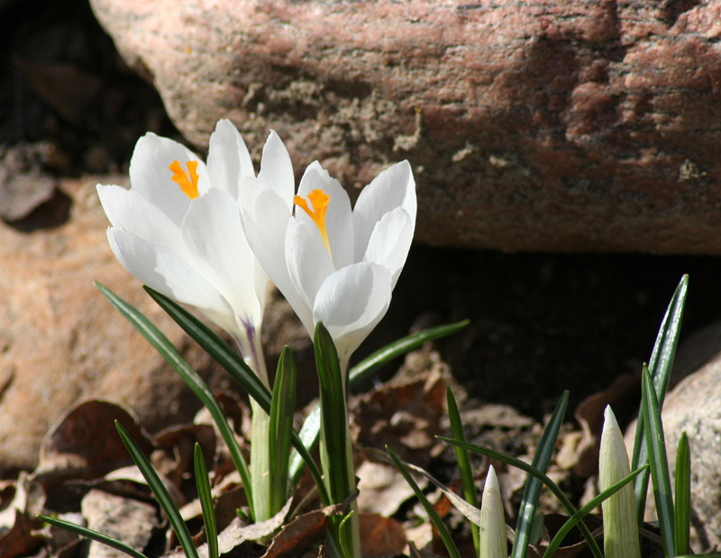Crocus 'Jeanne d'Arc' av withrow, på Flickr