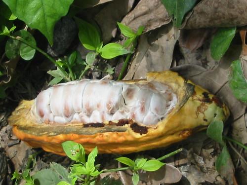 CACAO DE BARLOVENTO, VENEZUELA - venezuelan cocoa