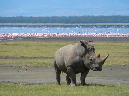 Rhino, Lake Nakuru, Kenya