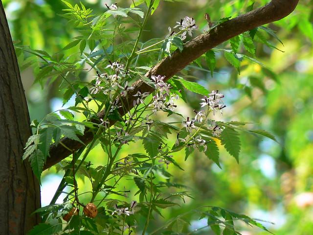 Persian Lilac Tree Flickr Photo Sharing