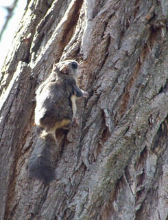 flying squirrel on a black locust tree in Plummer's Hollow