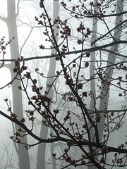 red maple blossoms in the fog