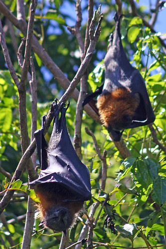Fruit Bats by webmink