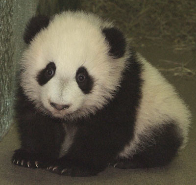 pandacute