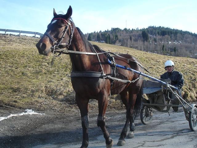 Norwegian horse @ Voss