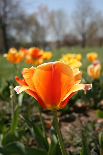 """Open To The Sun"" tulip photo copyright Jen Baker/Liberty Images; all rights reserved. PInning to this page is okay."