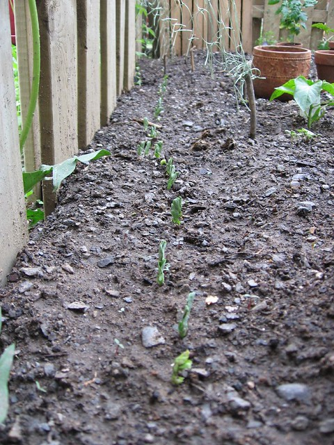 Snow Pea Seedlings