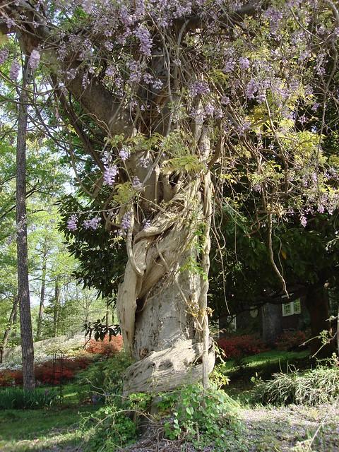 Tree with Wisteria in My Neighborhood
